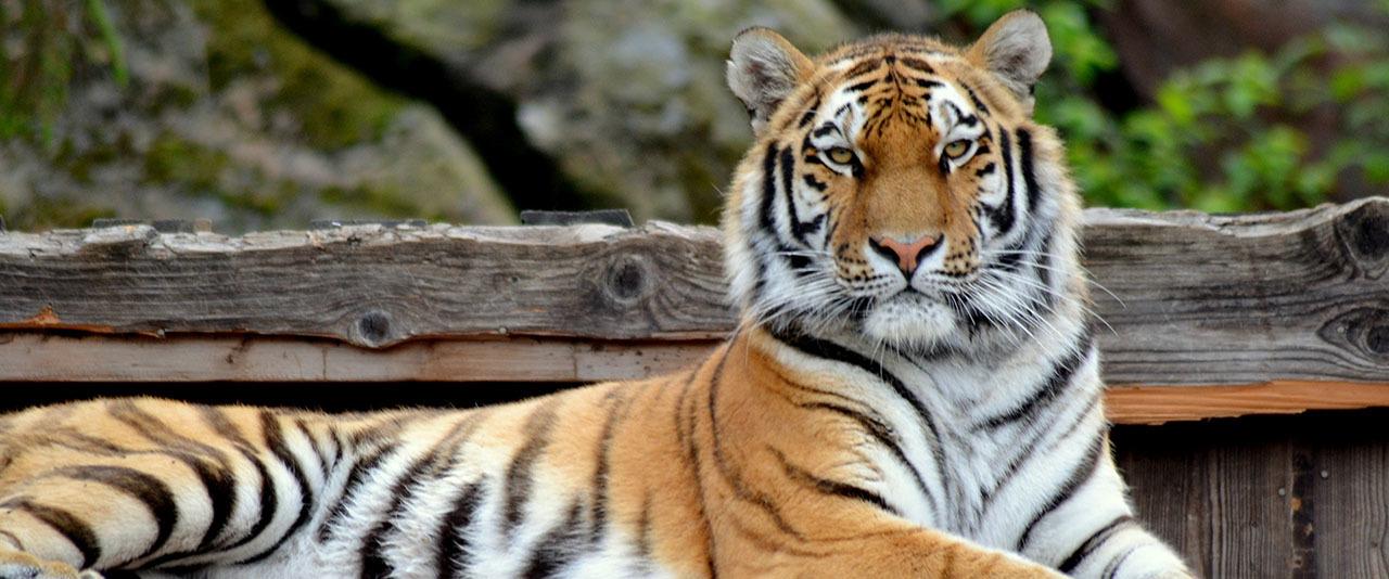 Tiger 1280 top desktop