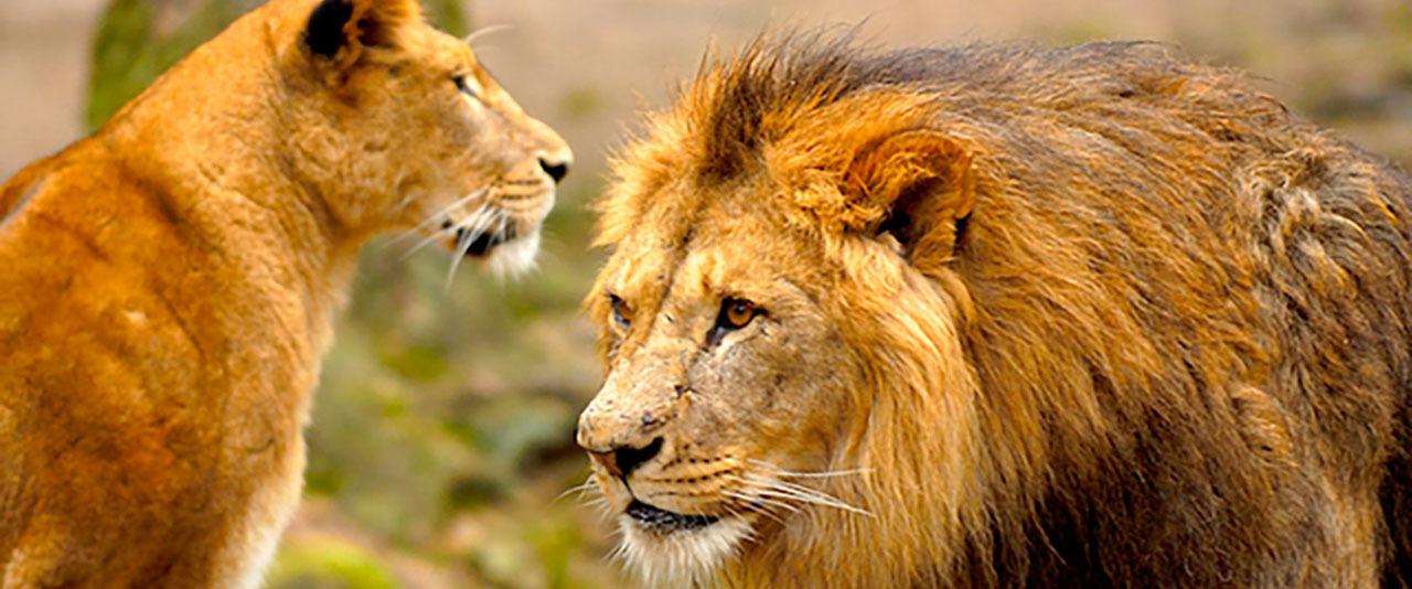 Safari lejon 1280 top desktop