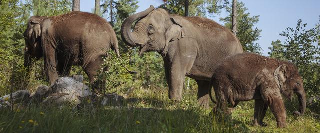 hur mycket väger en elefant