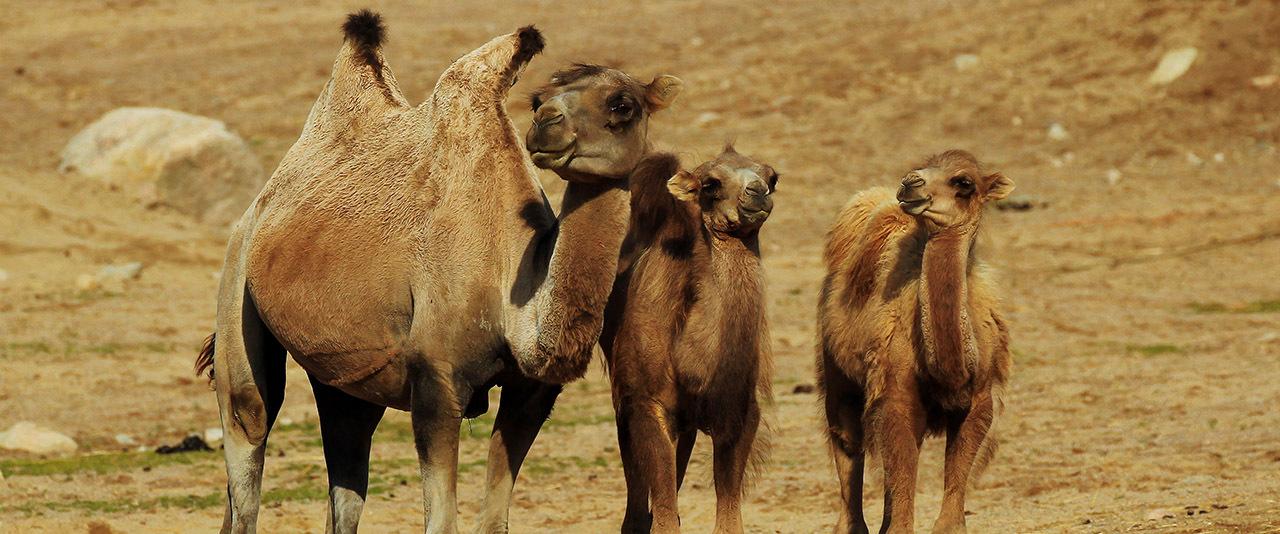 Kamel 145 1280 top desktop