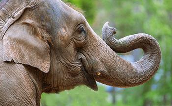 Elefantf rest llning 034 desktop desktop