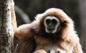Vithandad gibbon 081 350 desktop