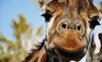 Giraff 098 350 desktop