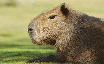 Kapybara desktop