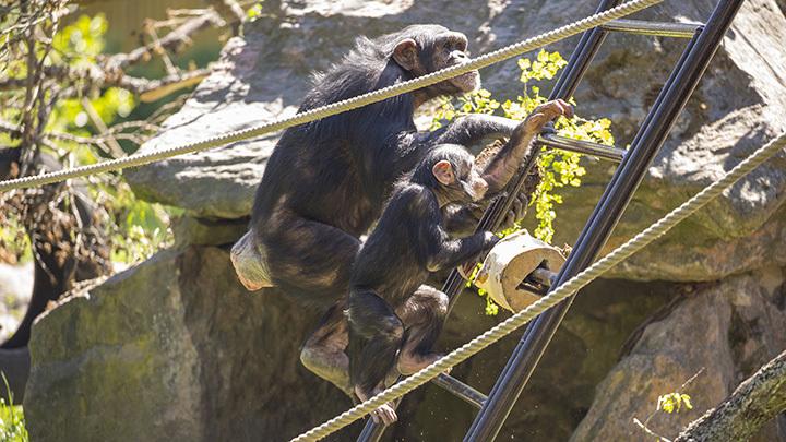 Schimpans 2015 06 05 003 medium