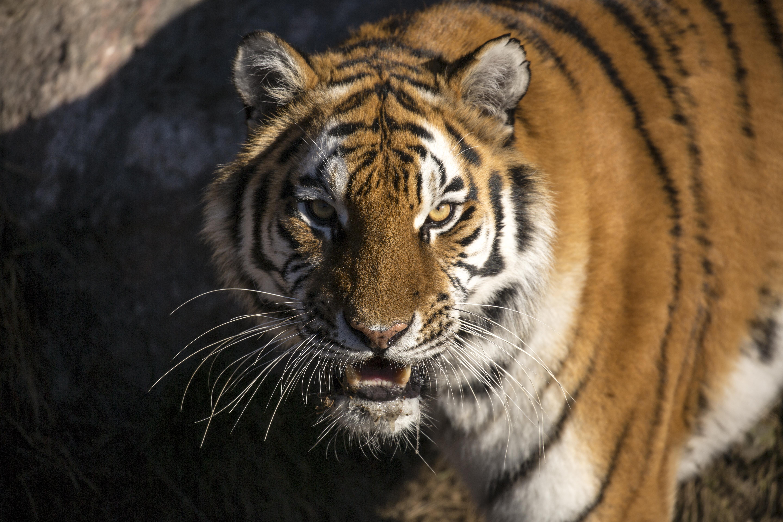 Tiger 2015 03 09 060 1