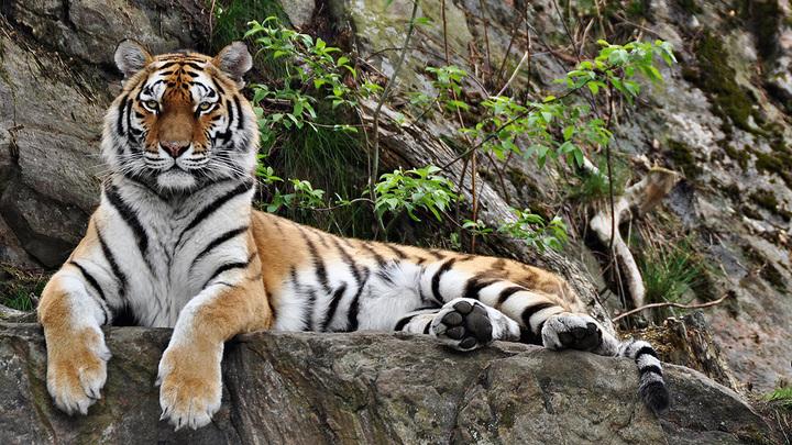 Tiger1280x720 medium