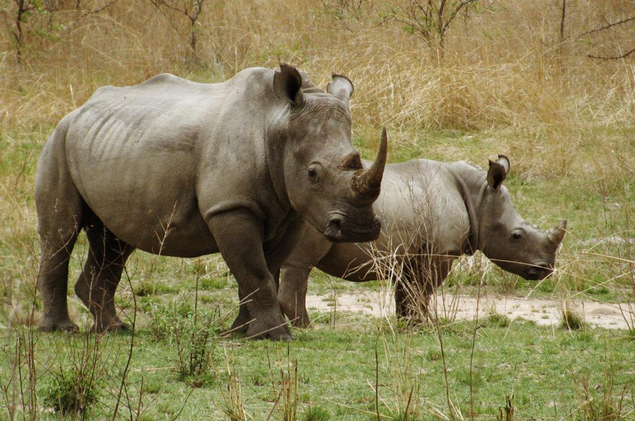 vad består noshörningens horn av