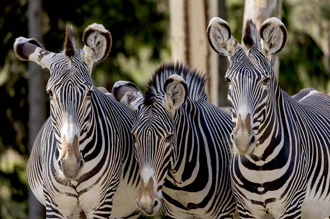 Zebra 2016 05 31 002
