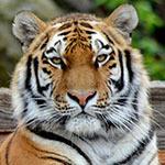 Tiger 150 desktop