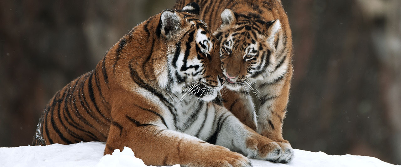 Fadder tiger top desktop