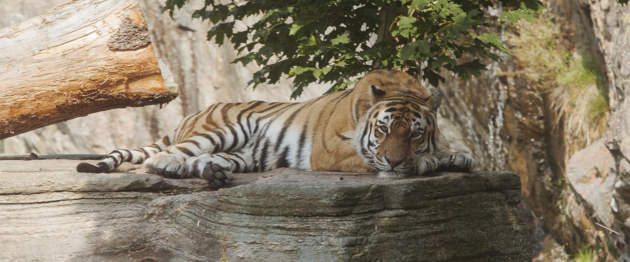 Tjuvjagarna storsta hotet mot tigrarna 2